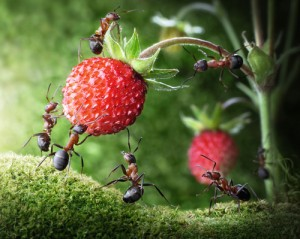 Team of ants gathering wild strawberry as an example of teamwork